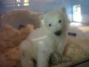 Polar Bear Cub (2)